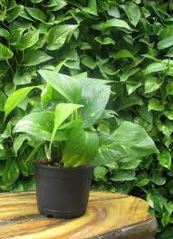 buy green money vertical plant pack of 3 online at best prices