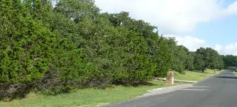 native texas landscaping plants mountain cedar does it deserve such disdain