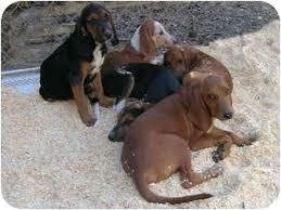 bluetick coonhound mix puppies hound puppies adopted puppy paragould ar redbone coonhound