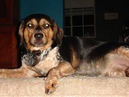 bluetick coonhound dog bluetick coonhound dog breed pictures 2