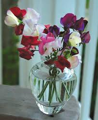 sweet peas flowers success with sweet peas finegardening