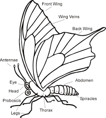 coloring pages of butterfly science worksheet parts of a butterfly science pinterest