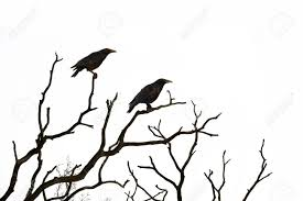 dead tree with crows isolated on white background stock photo