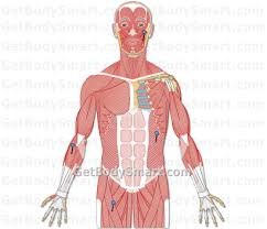 Anatomy And Physiology Muscle Labeling Exercises Skeletal Muscle Anatomy Quizzes Human Muscle Anatomy Quizzes