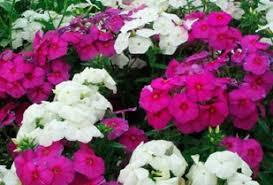 phlox flower garden phlox a perennial flower howstuffworks