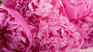 pink peonies gomi wallpapers for pink peony wallpapers www showallpapers com