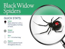 Black Widow Spiders Had A - black widow spiders facts extermination information