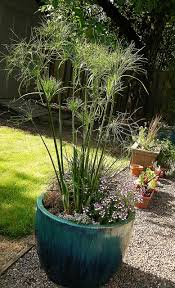 7 best king tut grass images on garden decorations