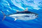 Wallpapers Backgrounds - Bluefin tuna Thunnus thynnus saltwater fish underwater sea Stock (bluefin tuna thunnus thynnus saltwater fish underwater sea tonobalaguer Stock 123rf 1200x801)