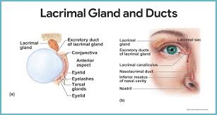 Eye Ducts Anatomy Special Senses Anatomy And Physiology U2022 Nurseslabs