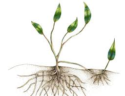 Vegetative Propagation By Roots - vegetative propagation by layering greenmylife anyone can garden