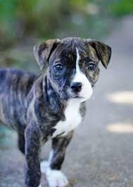 pitbull puppies types temperament u0027s