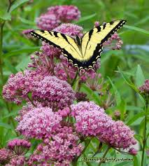 asclepias incarnata swamp milkweed for monarch butterflies