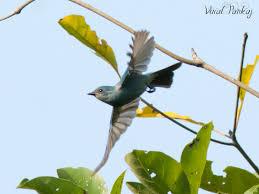 Verditer Blue Verditer Flycatcher હર તન લ મ ખ મ ર