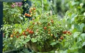 indoor tomato plant pollination tomato container gardens indoor
