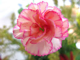 carnation flowers carnations flowers carnation flowers gallery 1
