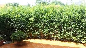 native hedging plants uk 75 x wonderhedge co uk hedge plant gardening hedges and native