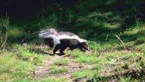 when do skunks feed animals mom me