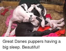 Great Dane Meme - great danes puppers having a big sleep beautiful meme on sizzle