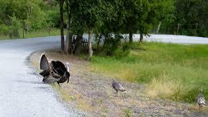 deterring wild turkeys