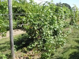 winter injury wine u0026 grapes u