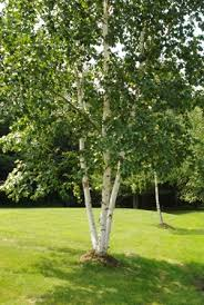 Garden Tree Types - about the birchtree center the birchtree centerthe birchtree