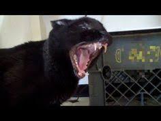 Talking Cat Meme - sylvester the talking kitty cat meme generator imgflip