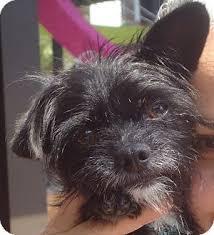 affenpinscher and chihuahua mcscruffy adopted dog 12 1 015 chicago il affenpinscher