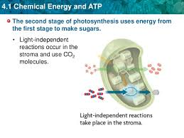 Where Do The Light Independent Reactions Occur Unit 4 Chemical Energy And Atp