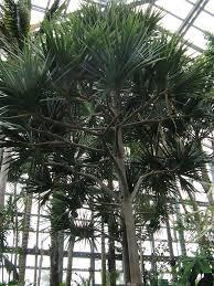 madagascar native plants 4 live madagascar pine trees u2014