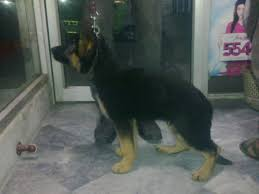 belgian shepherd for sale in lahore rs 75 000 show quality belgium shepherd 3 months old puppies 4