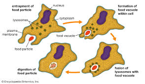 Structural Features Of White Blood Cells Macrophage Cell Britannica Com