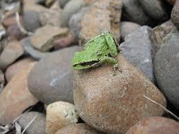 Rock Vegetable Garden Garden Toad On Rocks In A Vegetable Garden Stock Image Image Of
