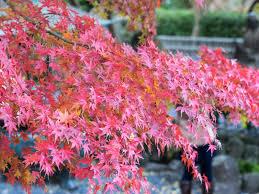 japan autumn foliage forecast 2017 kyuhoshi