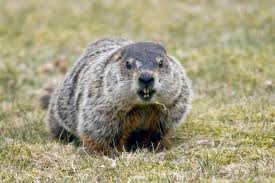 bob macdonnell photography groundhog ethics wildlife