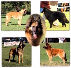 belgian shepherd rescue qld belgian shepherd dog club of queensland inc home