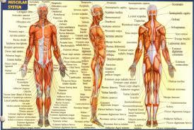 Apologia Human Anatomy And Physiology Anatomy And Pysiology Gallery Learn Human Anatomy Image