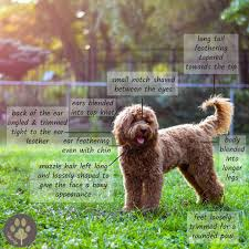 how to cut a goldendoodles hair how to groom a goldendoodle timberidge goldendoodles