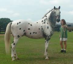 171 best appaloosa images on pinterest horses appaloosa horses