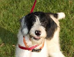 affenpinscher maltese mix top 15 mock faked poodle cross breeds mix breeds