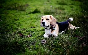 Wallpaper Dog Beagle Dog Hd Wallpaper