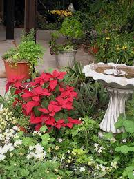 christmas plants can last for years tbo com