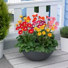 gerbera plant flowers that go with gerbera daisies gerbera