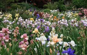 Iris by Stout Gardens At Dancingtree Buy Fine Iris Irises And Daylilies