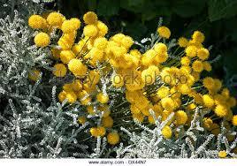 Yellow Pom Pom Flowers - pom pom flowers stock photos u0026 pom pom flowers stock images alamy