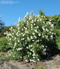 list of california native plants bush anemone full size picture of bush anemone tree anemone