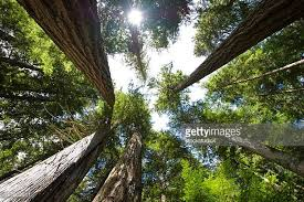 cedar tree stock photos and pictures getty images