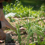 creative vegetable gardener how to water your vegetable garden in