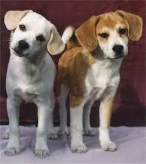 american eskimo dog apartment american eagle dog info temperament training puppies pictures