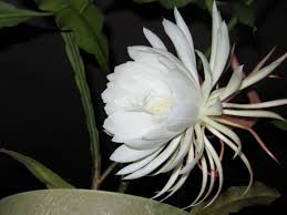 blooming cereus southern traditions of blooms bloom lewis ginter
